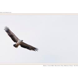 Martial Eagle, Kenia