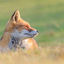 Dreamingland ( Red Fox )