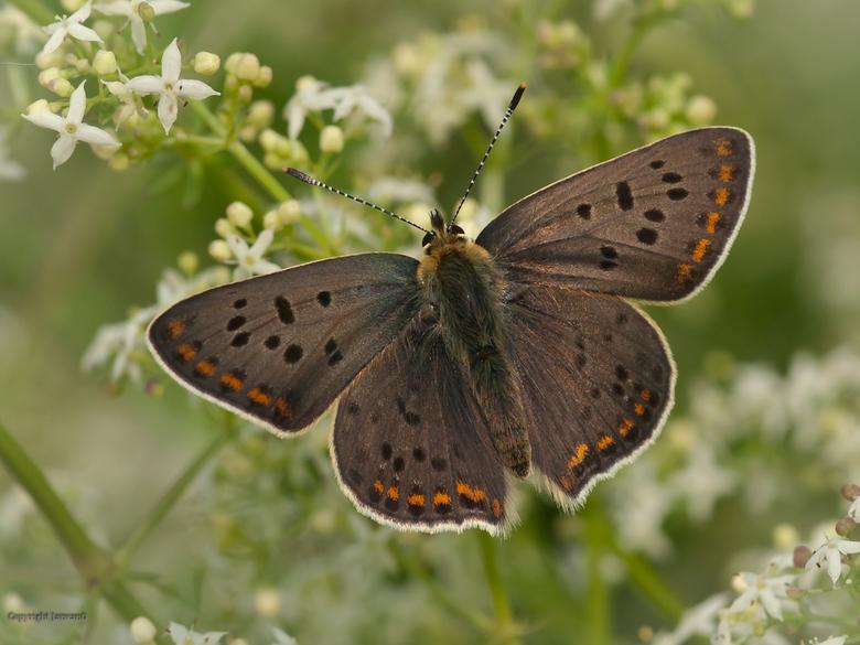 Bruine vuurvlinder  - Gisteren gemaakt in Duitsland, dit is een mannetje.<br /> <br /> Deze soort had ik nog niet, ben er erg tevreden mee.<br /> I