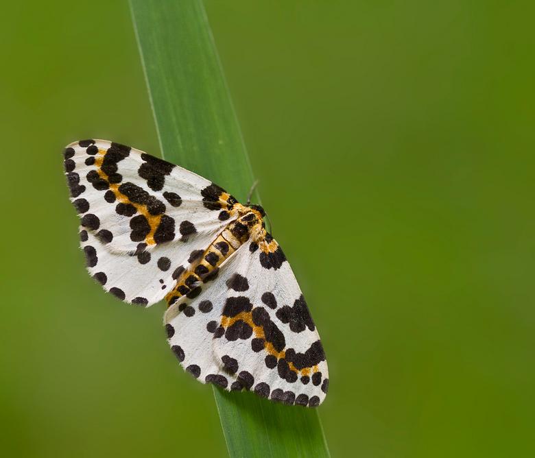 bonte bessenvlinder  - Deze bonte bessenvlinder (Abraxas grossulariata) kwam ik laatst tegen in een ander bosje hier in de buurt, hij hing heel laag b