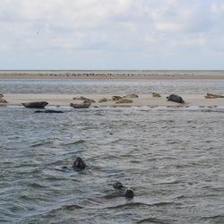 zeehonden bij vlieland