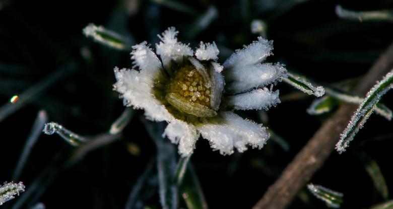 Hallo winter - Bevroren dauw op een madeliefje