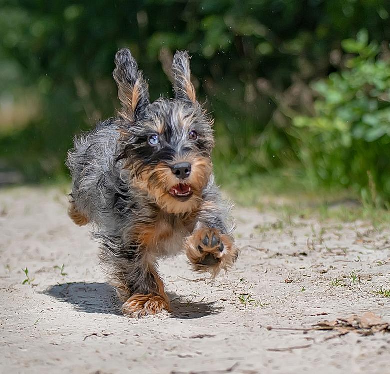 sprintje - dwergTekkelpup aan het rennen