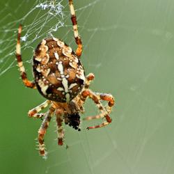 Spin aan het eten
