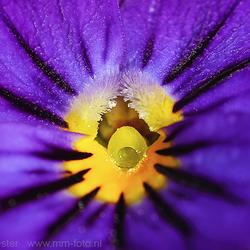 Stamper van een viooltje