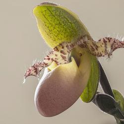 Orchidee_Pinokkio.jpg