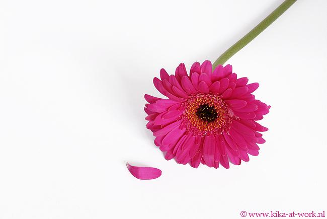 Pink Gerbra - Pink Gerbra