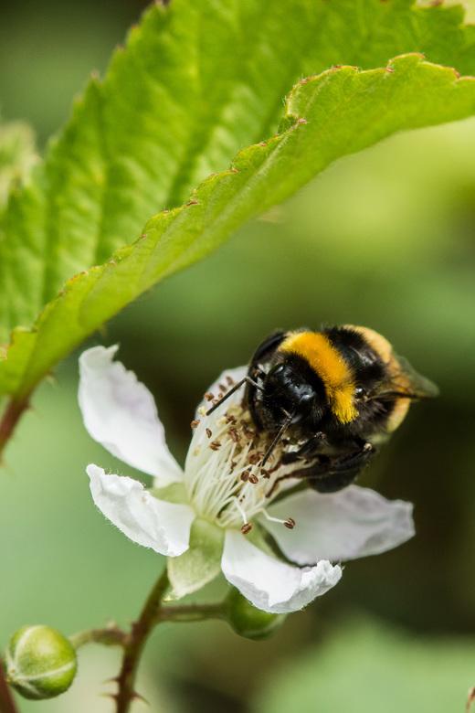 Hommel op zoek naar nectar -