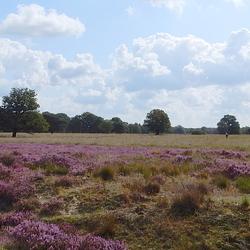 Bloeiende Heide.