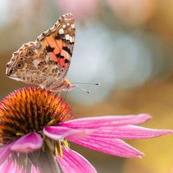 Botanische tuin - distelvlinder