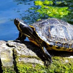 Schildpad in haven Schiedam