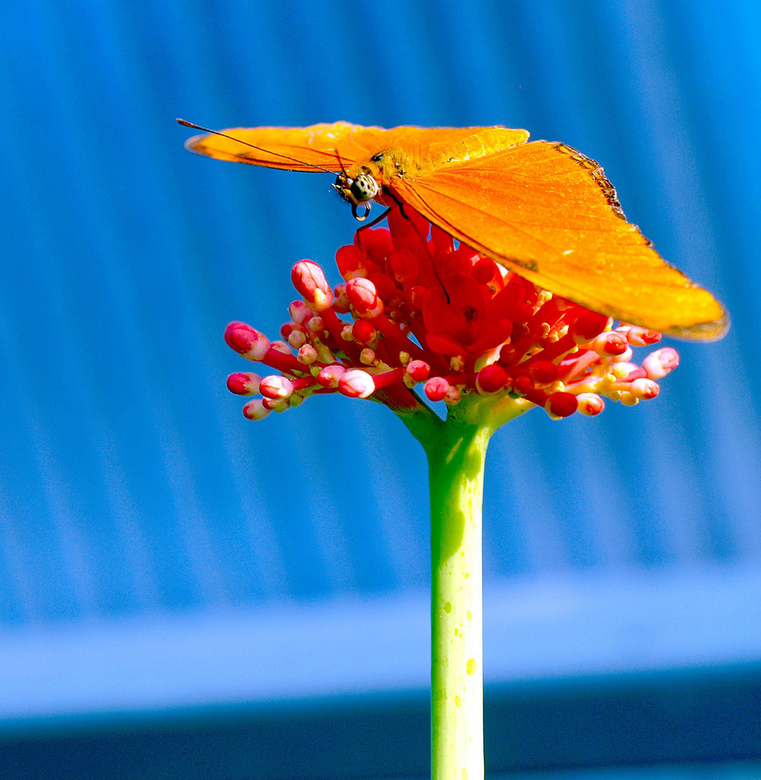 La Vlinder orange - Tis zo koud koud en vaak ook grauw buiten dat ik besloten heb om maar wat kleurigs te uploaden. Deze is uit de vlindertuin in Arti