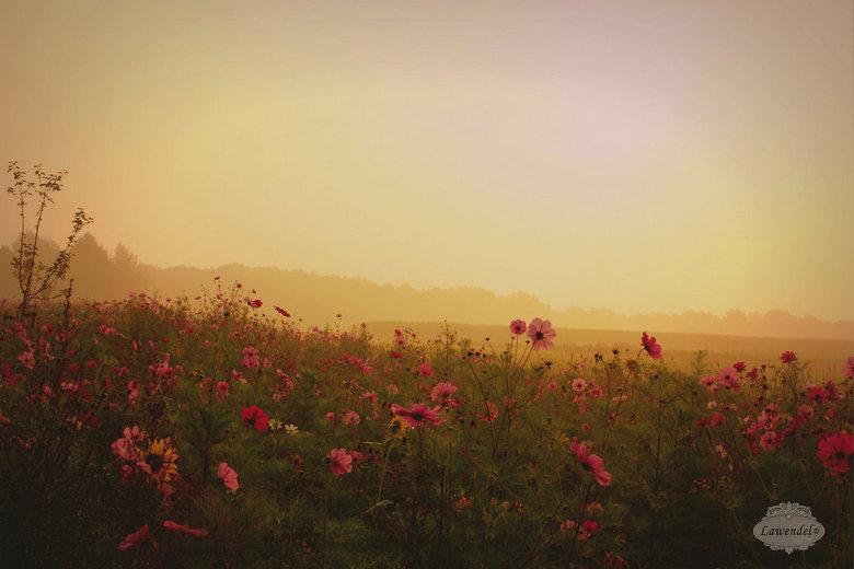 Goud - Vanmorgen was ik al vroeger dan anders op pad en kwam zo op een mooi moment bij een volop bloeiende akkerrand. De nevel en de opkomende zon kle