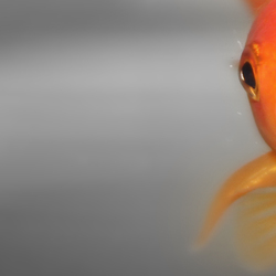 Mr. Goldfish..