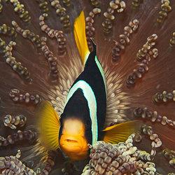 Maldives Anemone FIsh