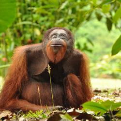 Habitat van de orang-oetan bedreigd