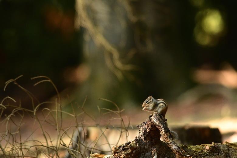 kijk hoe klein hij is ... - Ze zijn zo klein, de grondeekhoorntjes in het Wandelbos in Tilburg.