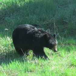 Black Bear in de berm