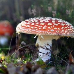 Op een grote paddenstoel, rood met witte stippen!