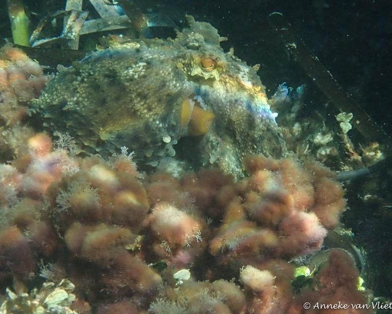 Octopus  - Deze octopus wilde wel even voor mij pauzeren. Maar zodra de foto gemaakt was ging hij er toch maar van tussen.