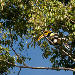 Great Hornbill, Grote Neushoornvogel