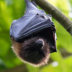 Vleerhond in de bush