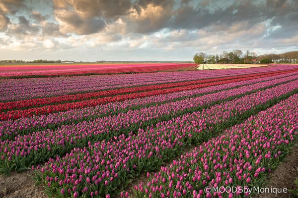 Tulpenroute Flevoland - Het voorjaar hangt in de lucht<br /> In Flevoland kunnen we binnenkort weer volop genieten...<br /> Ben erg nieuwsgierig waa