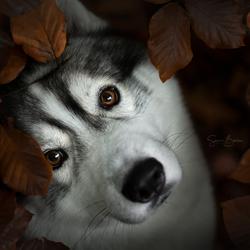 Husky in de herfst