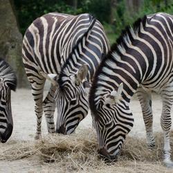 Groepje Chapman zebra's _DSC5085