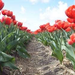 Tulpen Bollenstreek
