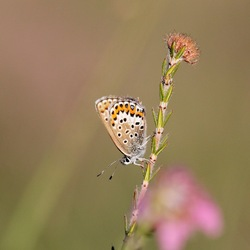 Heide-blauwtje