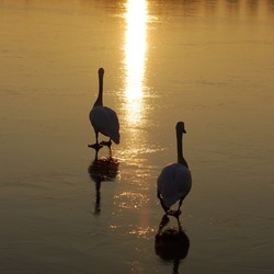 Zwanen en zonsondergang