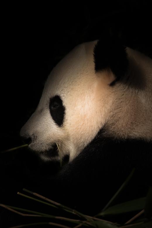 Pandabeer -