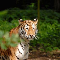Nieuwsgierige tijger