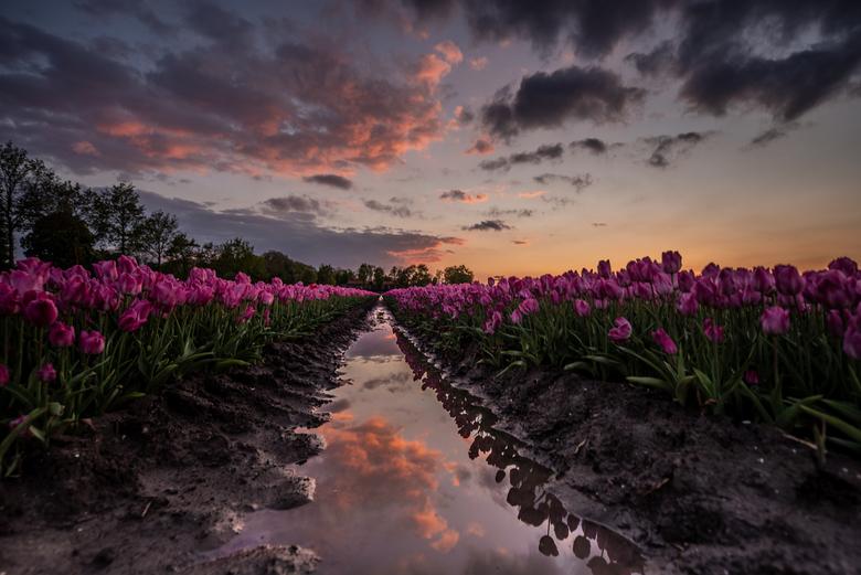 reflectie en tulpen - Net na zonsondergang tussen de tulpen bij Bant