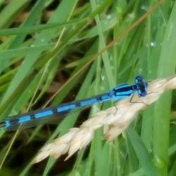 kleine blauwe libelle