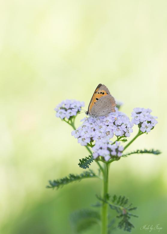 Vuurtje op de Achillea... - Wat een Prachtige Nazomerdagen...<br /> Vlinders, Paddenstoelen, Libellen....wat een Mooie Overgang zo, naar de Herfst!