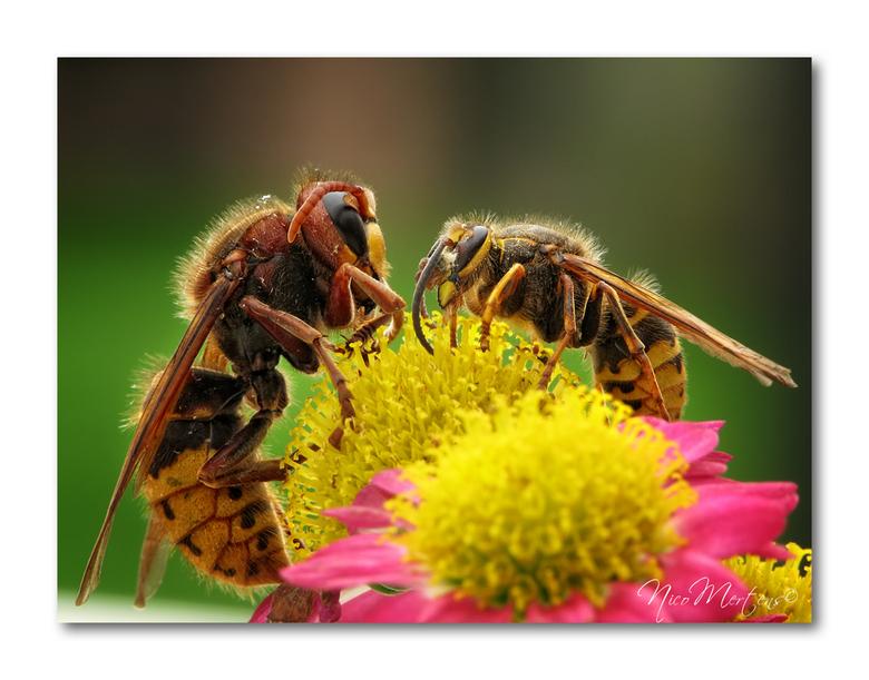 Hoornaar vs gewone wesp!! - Hallo...<br /> <br /> deze foto heb ik gemaakt om toch even duidelijk het verschil in grootte te laten zien tss de hoorn