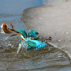 IJsvogel met vis uit het water