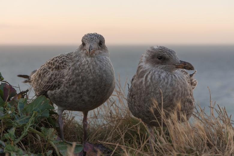 Birdlove in Etretat - Deze meeuwen van dichtbij kunnen fotograferen op de kliffen bij Etretat (Normandië)