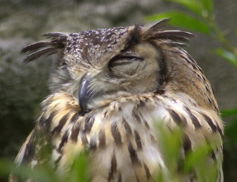 Ransuil - Ransuil, echt slapen doet hij niet. Stiekem bespioneerd hij mij van achter de tralies.