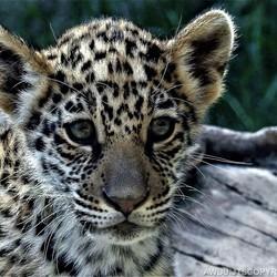 Jonge jaguar