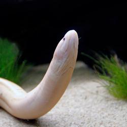 Albino moeras aal
