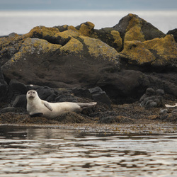 Chilling Seal