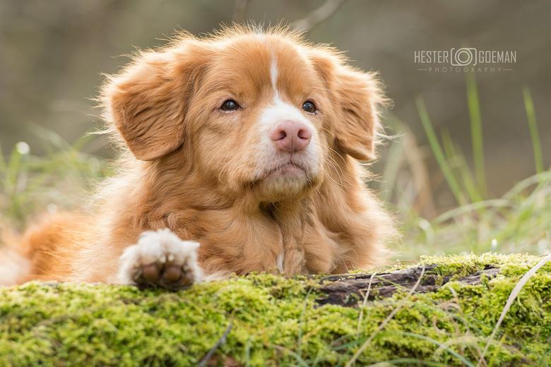 Glowing... - Nog eentje uit de fotoshoot van deze geweldig mooie hond.<br /> Gister de foto&#039;s naar de eigenaresse gestuurd, en ik kreeg het mooi