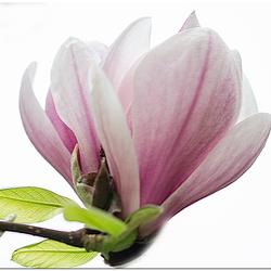 Magnolia Hig key fotografie