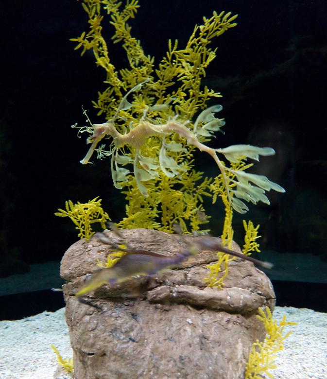 Leafy seadragon - Nog een sierlijk geval, met de zeer oninteressante nederlandse naam 'Grote rafelvis' (Phycodurus eques), family van de zee