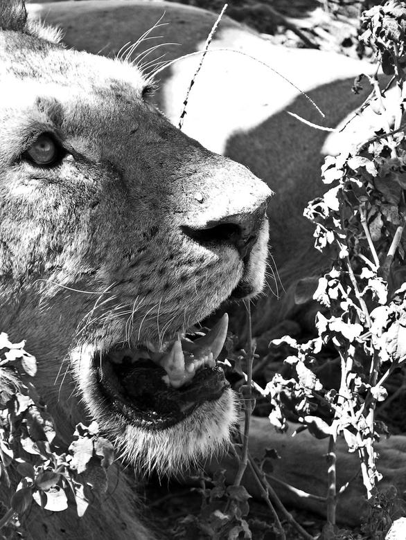 Opgepast - Vanuit slaap in een split-second waakzaam geworden leeuw die tanden laat zien aan een hongerige aasgier.