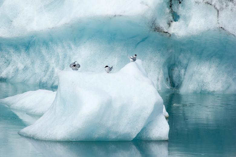 Sterns op ijs - Jokulsarlon