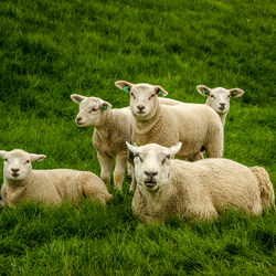 Sheeps on Ameland-6532